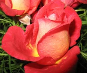 Роза Клеопатра