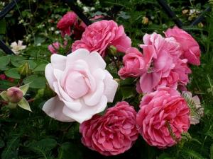 Белая и алая роза