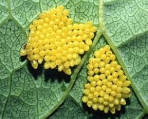 Личинки боярышницы